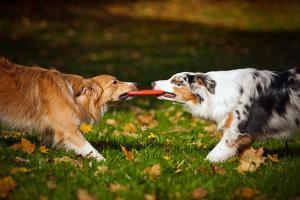 Two Dogs Playing With A Toy Together by Ksuksa