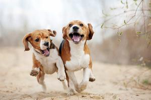 Two Funny Beagle Dogs Running by Ksuksa