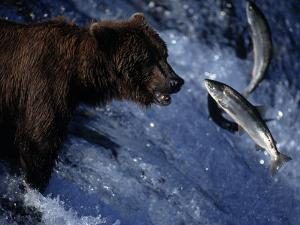 Grizzly Bear and Salmon, Brooks Falls, Katmai, AK by Kyle Krause