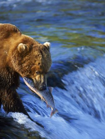 Grizzly Bear with Salmon, Brooks Falls, Katmai, AK by Kyle Krause