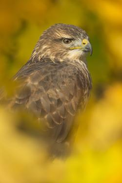 Common buzzard (Buteo buteo), among the autumn foliage, United Kingdom, Europe by Kyle Moore