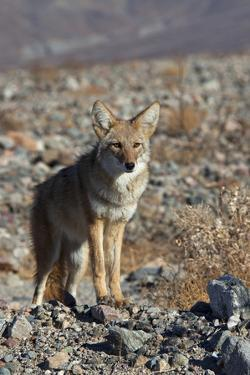 California, Death Valley NP. A Coyote in the Wild at Death Valley by Kymri Wilt