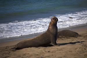 California, San Luis Obispo. Elephant Seal Colony at Piedras Blancas by Kymri Wilt