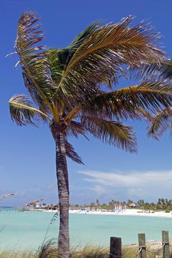 Palm Tree of Castaway Cay, Bahamas, Caribbean by Kymri Wilt