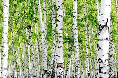 White Birch Trees in the Forest in Summer by kzww
