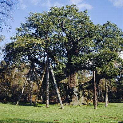 The Major Oak (Robin Hood Tree), Sherwood Forest, Nottinghamshire, England