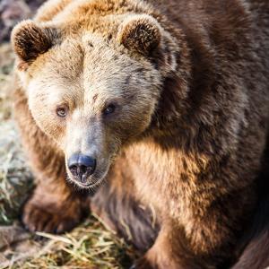 Brown Bear by l i g h t p o e t