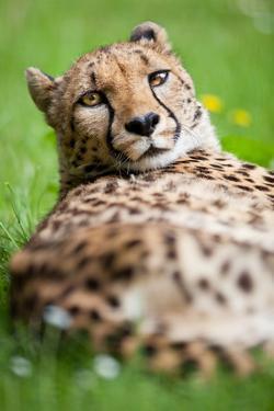 Cheetah (Acinonyx Jubatus) by l i g h t p o e t