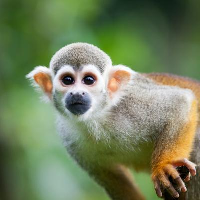 Close-Up of a Common Squirrel Monkey (Saimiri Sciureus) by l i g h t p o e t