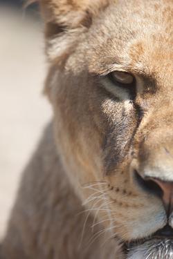 Close-Up Portrait Of A Majestic Lioness (Panthera Leo) by l i g h t p o e t
