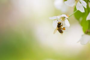 Honey Bee Enjoying Blossoming Cherry Tree On A Lovely Spring Day by l i g h t p o e t