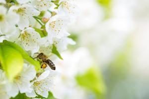 Honey Bee In Flight Approaching Blossoming Cherry Tree by l i g h t p o e t