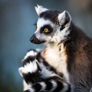 Lemur Kata (Lemur Catta) by l i g h t p o e t