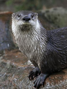 Otter - The Cutest European Mammal by l i g h t p o e t