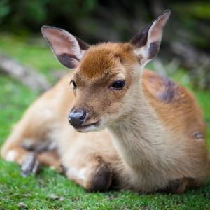 Sika Deer (Lat. Cervus Nippon) Doe by l i g h t p o e t