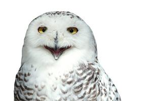 Snowy Owl (Bubo Scandiacus) Smiling And Laughing Isolated On White by l i g h t p o e t