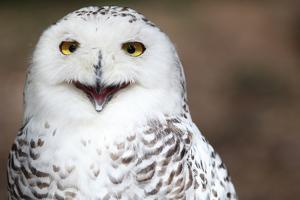 Snowy Owl (Bubo Scandiacus) Smiling And Laughing by l i g h t p o e t