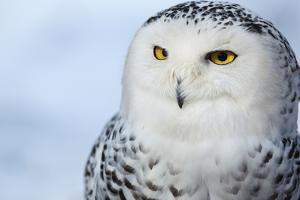 Snowy Owl (Bubo Scandiacus) by l i g h t p o e t