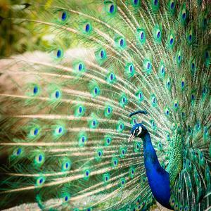 Splendid Peacock with Feathers Out (Pavo Cristatus) by l i g h t p o e t
