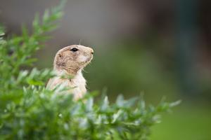 Very Cute Black Tailed Prairie Dog (Cynomys Ludovicianus) by l i g h t p o e t