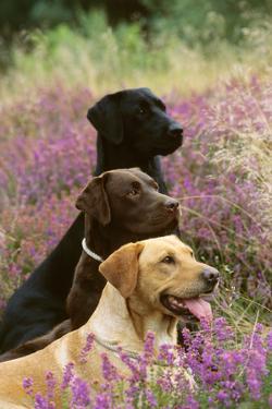 Labrador Dogs, Yellow Chocolate and Black