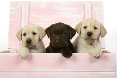Labrador Retriever Puppies in a Wooden Box