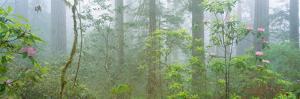 Lady Bird Johnson Grove of Old-Growth Redwoods, California