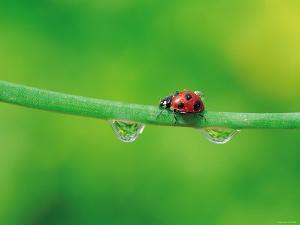 Ladybug with Water Droplets Sitting on Middle of Leaf