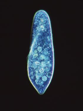 Paramecium Caudatum, Light Micrograph by Laguna Design