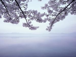 Lake Tazawa and Cherry Blossoms