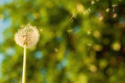 Dandelion in the Wind, with Tree Bokeh by Lamarinx