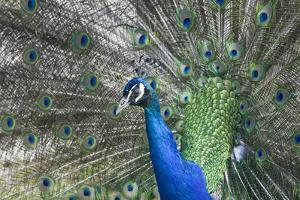 Peacock by Lamarinx