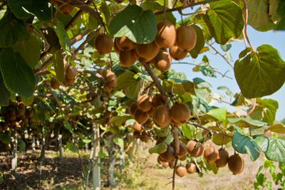 Ripe Kiwi Fruits by Lamarinx