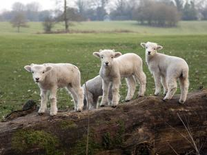 Lambs Playing on a Log in Stourhead Parkland, South Somerset, Somerset, England, United Kingdom