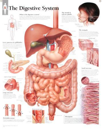 Laminated Digestive System Educational Chart Poster