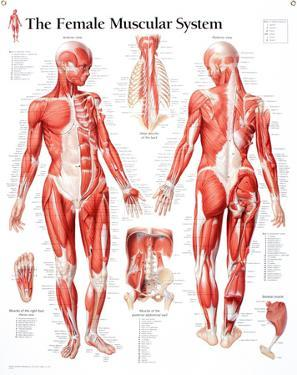 Laminated Muscular System Female Educational Chart Poster