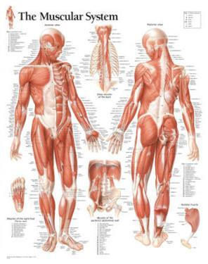 Laminated Muscular System Male Educational Chart Poster