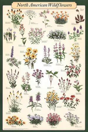 Laminated North American Wildflowers Educational Science Chart Poster