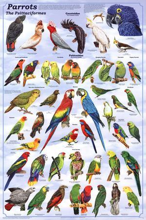 Laminated Parrots Educational Bird Chart Art Poster