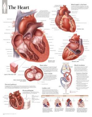 Laminated The Heart Educational Chart Poster