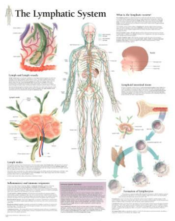 Laminated The Lymphatic System Educational Chart Poster