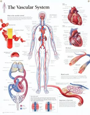 Laminated The Vascular System Educational Chart Poster