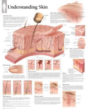 Laminated Understanding Skin Educational Chart Poster