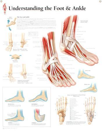 Laminated Understanding the Foot and Ankle Educational Chart Poster