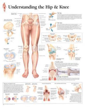 Laminated Understanding the Hip and Knee Anatomy Print Poster