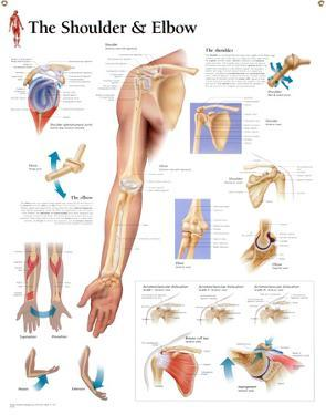 Laminated Understanding the Shoulder and Elbow Educational Chart Poster