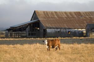 Cow Portrait by Lance Kuehne