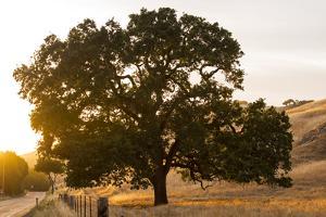 Roadside Oak by Lance Kuehne