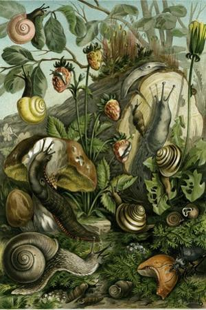 Land Molluscs or Snails and Slugs