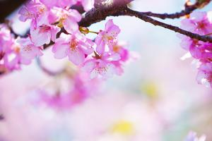 Bright Pink Cherry Blossoms in Soft Pastel Pink, Blue and Yellow Background. by landio
